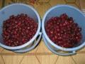 H27.11.5ピンク花ローゼルの実収穫(7k)@IMG_7015