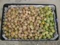 H27.12.10オレンジチェリーの実収穫③(200P)@IMG_7221