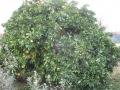 H27.12.12グレープフルーツの樹の様子@IMG_7233