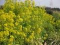 H28.1.5チ―マディラパの花満開@IMG_7405