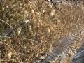 H28.1.25オレンジチェリー収穫終了@IMG_7570