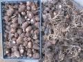 H28.1.27サトイモ収穫②@IMG_7616