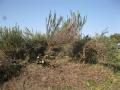 H28.1.31ローズマリーの樹間引き・剪定(14.35)@IMG_7629