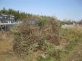 H28.1.31ローズマリーの樹間引き@IMG_7630