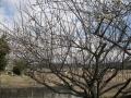 H28.2.16白梅の様子(二分咲き)@IMG_7792