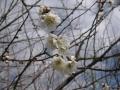 H28.2.16白梅の花(拡大)@IMG_7779