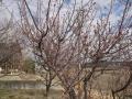 H28.2.16紅梅の様子@IMG_7790