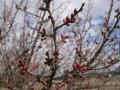 H28.2.16紅梅の花蕾(拡大)@IMG_7786