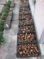 H28.3.11サトイモ収穫③(60k)@IMG_8083