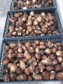 H28.3.11サトイモ収穫(拡大)@IMG_8085