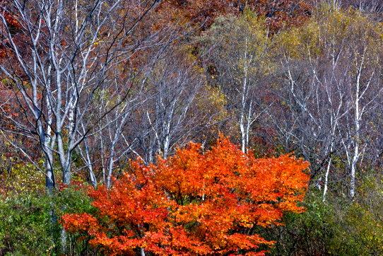 樹木それぞれの紅葉・笹ヶ峰にて