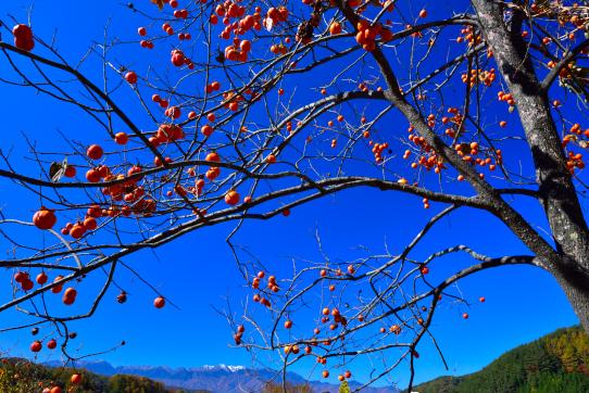 青空に柿の実と中央アルプス