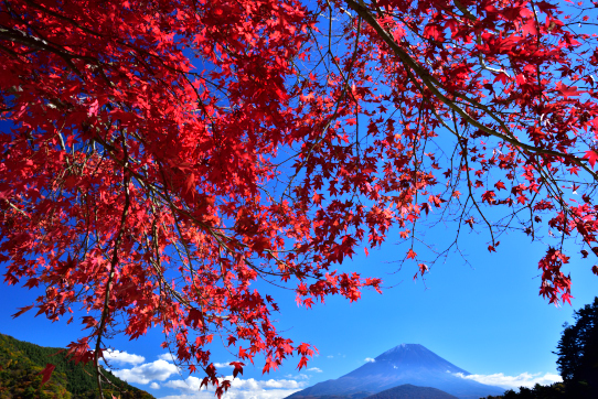 深紅のモミジと富士山