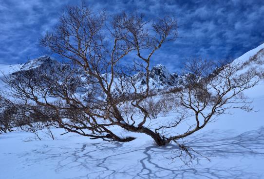 冬日を受けて枝を広げるダケカンバ