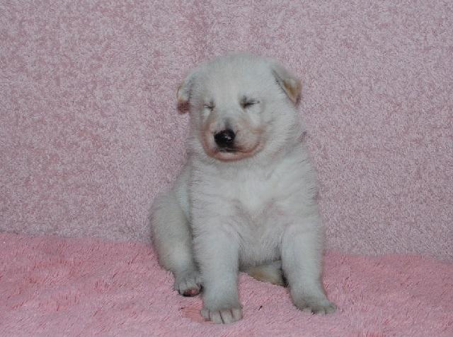 オオカミ顔のホワイトシェパードの子犬21