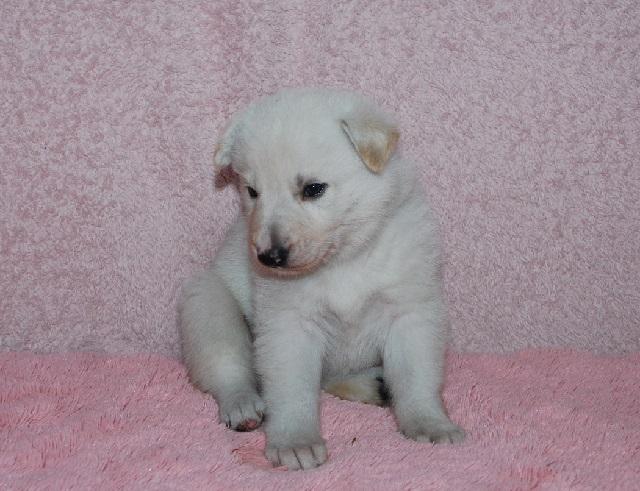 オオカミ顔のホワイトシェパードの子犬23