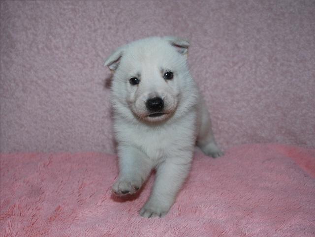 オオカミ顔のホワイトシェパードの子犬3