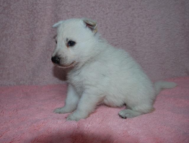 オオカミ顔のホワイトシェパードの子犬2