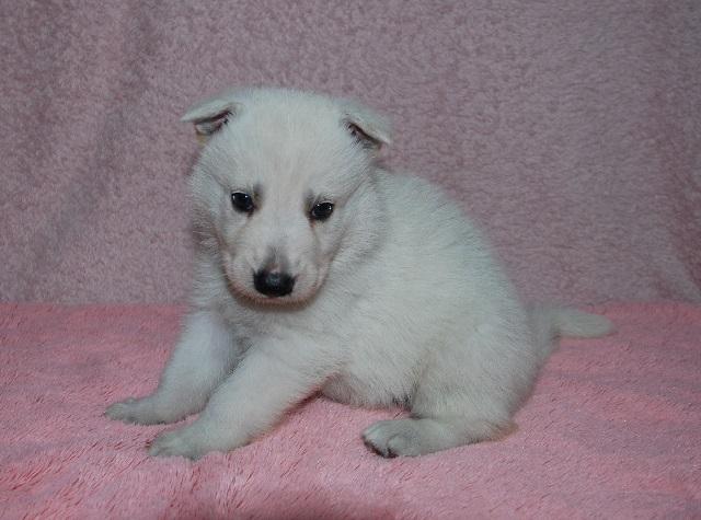 オオカミ顔のホワイトシェパードの子犬