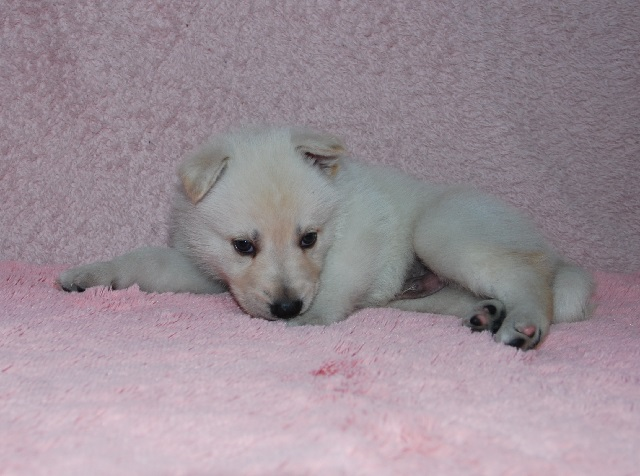 オオカミ顔のホワイトシェパードの子犬24