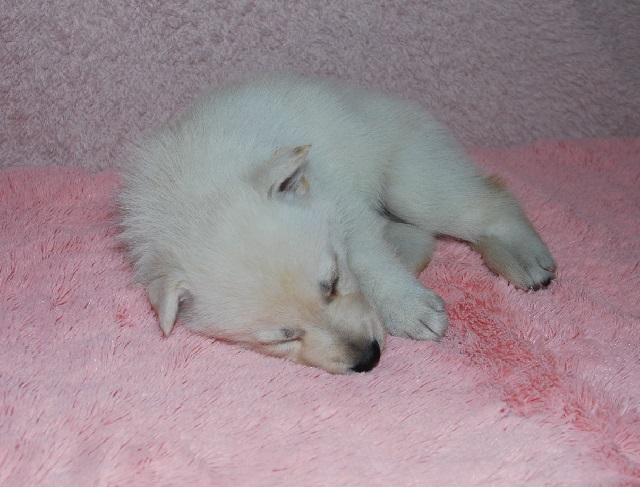 オオカミ顔のホワイトシェパードの子犬16