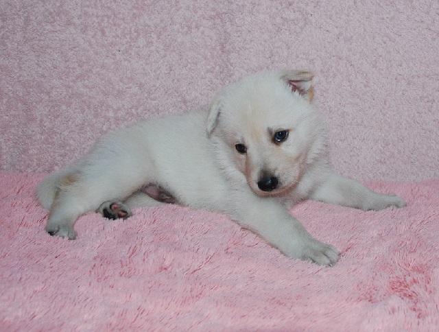 オオカミ顔のホワイトシェパードの子犬15