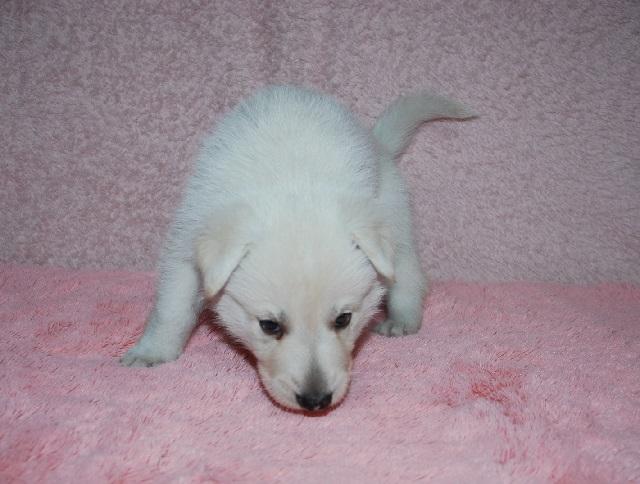 オオカミ顔のホワイトシェパードの子犬20
