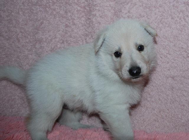 オオカミ顔のホワイトシェパードの子犬19
