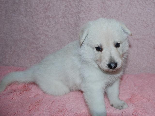 オオカミ顔のホワイトシェパードの子犬18