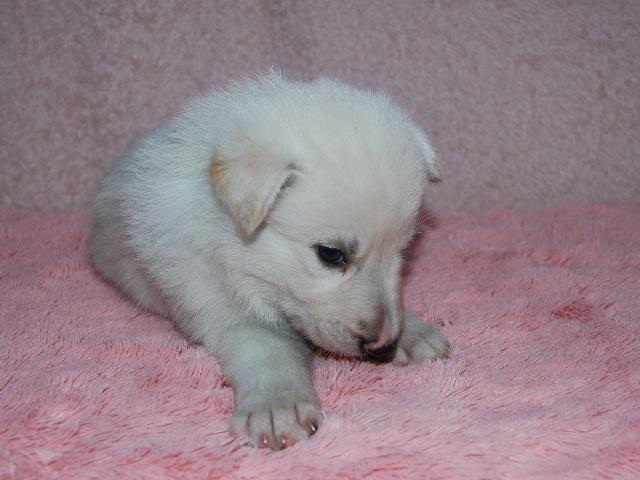 オオカミ顔のホワイトシェパードの子犬22