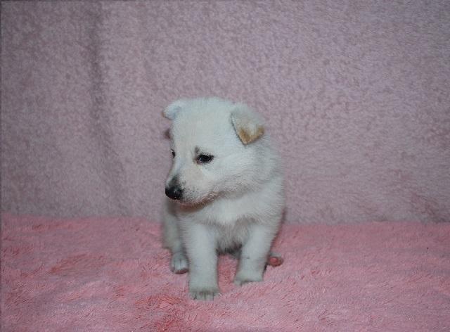オオカミ顔のホワイトシェパードの子犬9