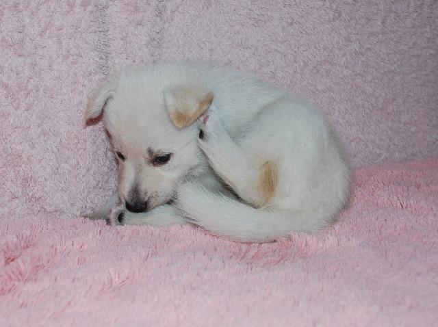 オオカミ顔のホワイトシェパードの子犬8