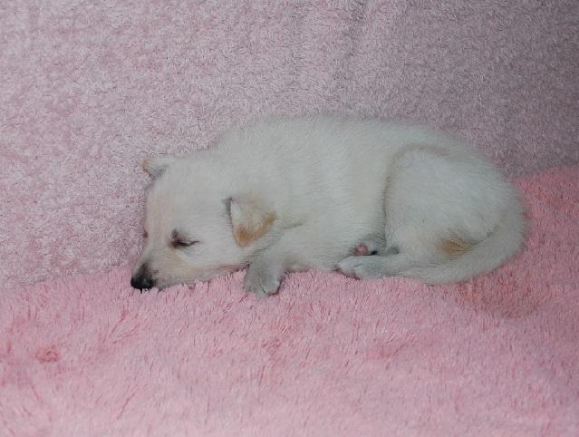オオカミ顔のホワイトシェパードの子犬7