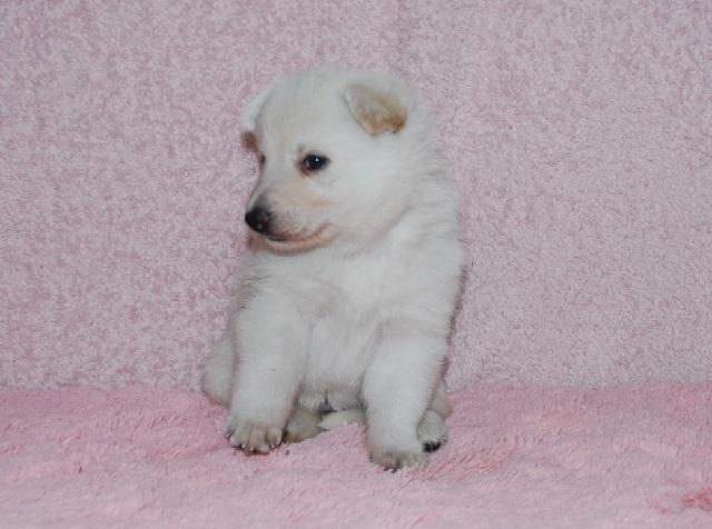 オオカミ顔のホワイトシェパードの子犬13
