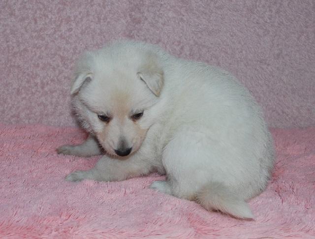 オオカミ顔のホワイトシェパードの子犬10