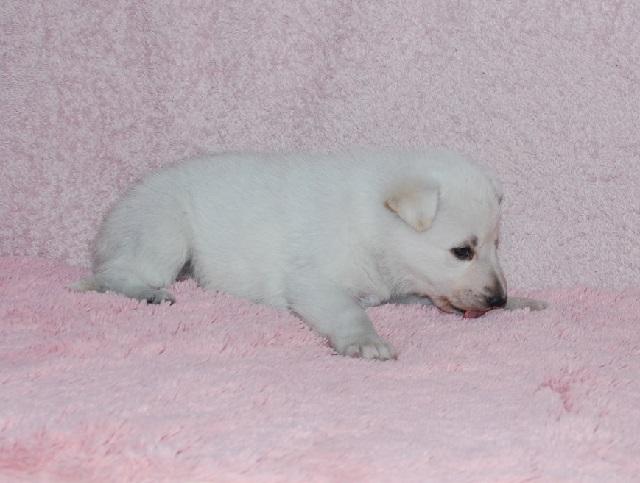 オオカミ顔のホワイトシェパードの子犬6