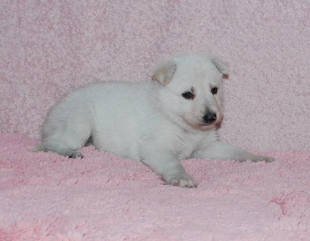 オオカミ顔のホワイトシェパードの子犬5