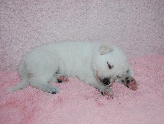 オオカミ顔のホワイトシェパードの子犬4