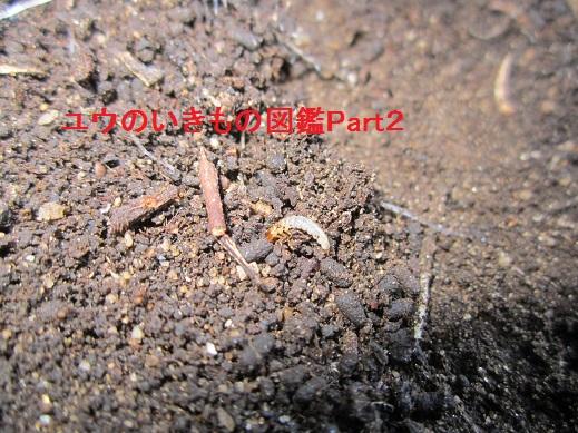 ハネカクシの幼虫