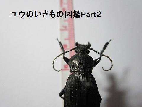 ヤコンオサムシ2