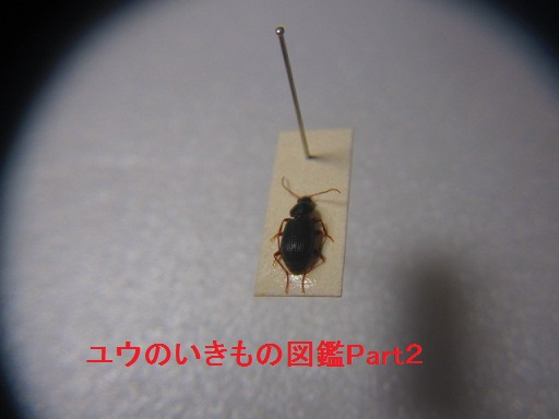 ヒメツヤヒラタゴミムシ