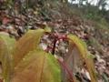 キブシの冬芽と黄葉