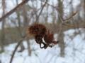 トウゴクミツバツツジの虫瘤