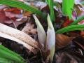 シュンランの花芽