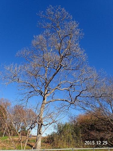 s-裸木②20151229