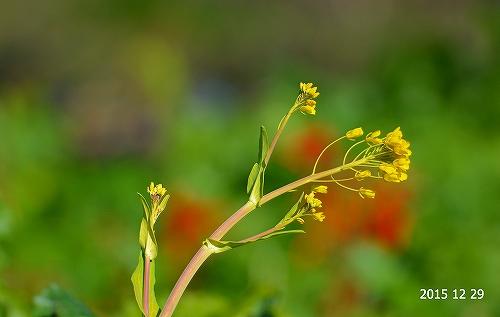 s-菜の花20151229
