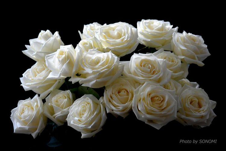白バラ1新