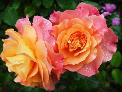 rose-174817_1920_convert_20151210200059.jpg
