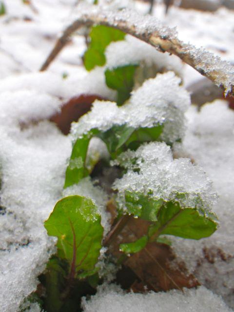 貴重な青・雪の中
