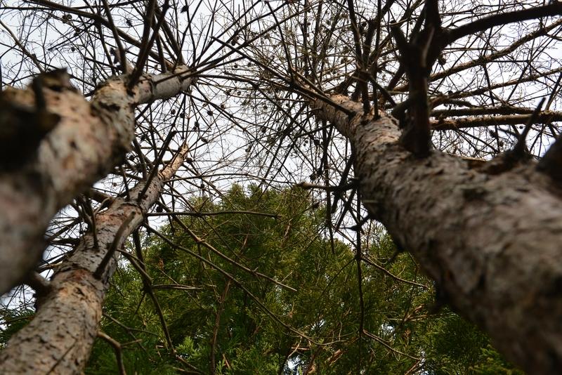 冬の木と松枯れ-3
